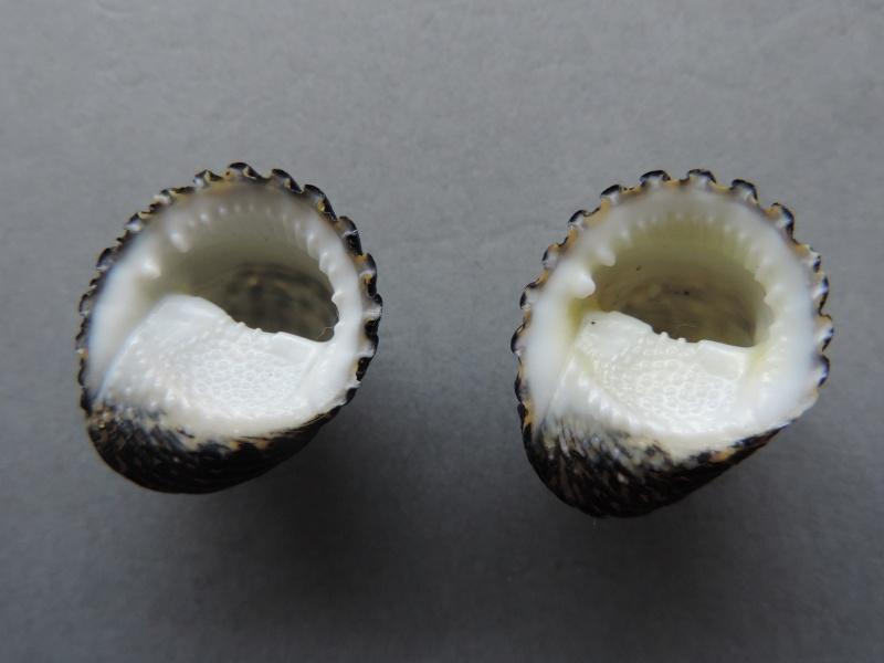 Nerita costata - Gmelin, 1791  Dscn7418