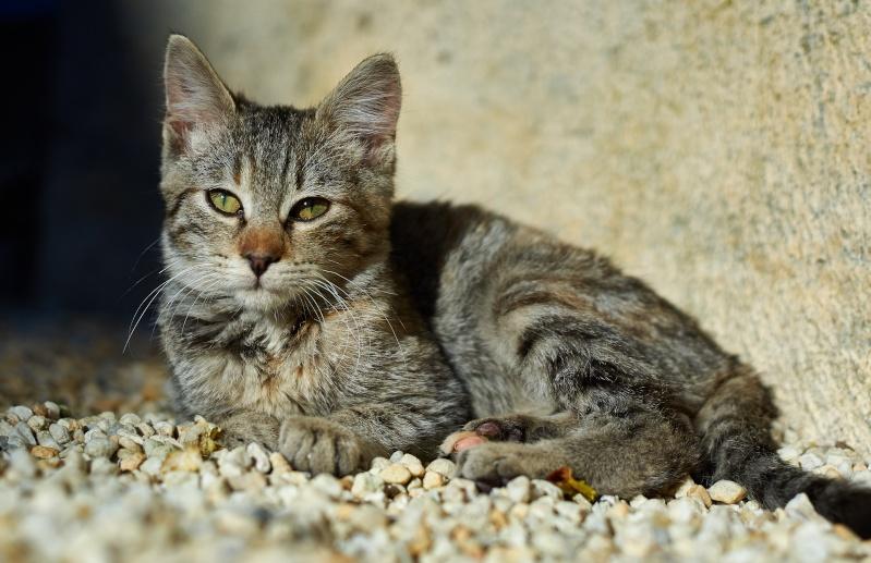 Linette, femelle tigrée, née fin août 2015 2015-112