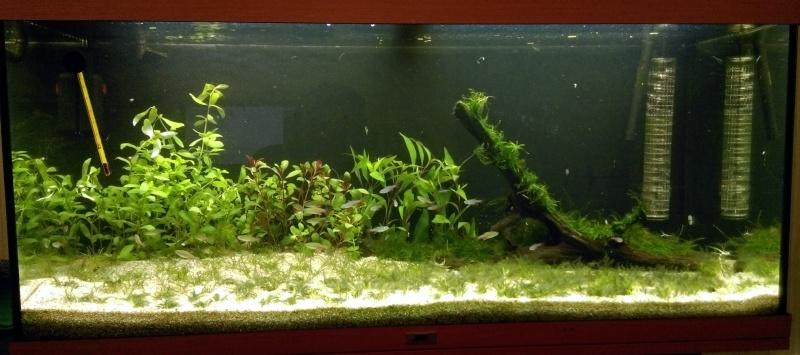 180L -  Le royaume vert des Aphyocharax Aquari12