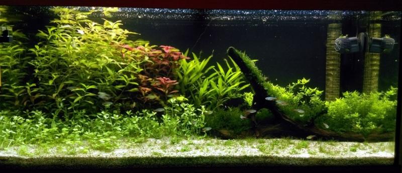 180L -  Le royaume vert des Aphyocharax Aquari13