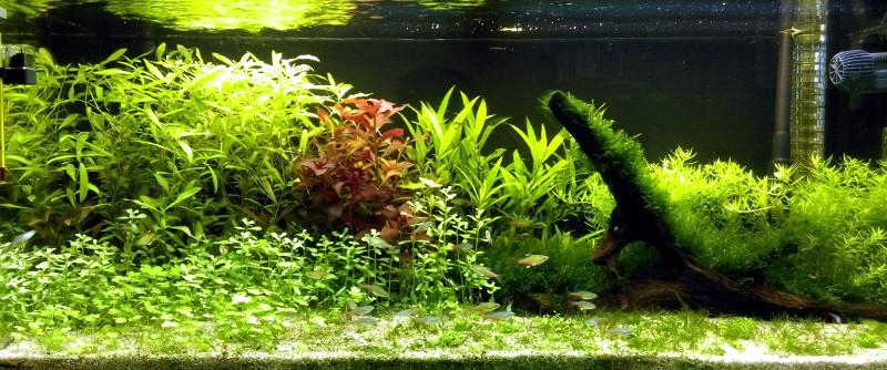 180L -  Le royaume vert des Aphyocharax Aquari14