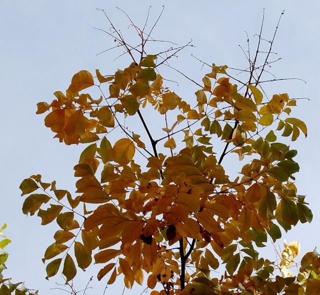 Koelreuteria bipinnata (= K. integrifoliola) Koelre11