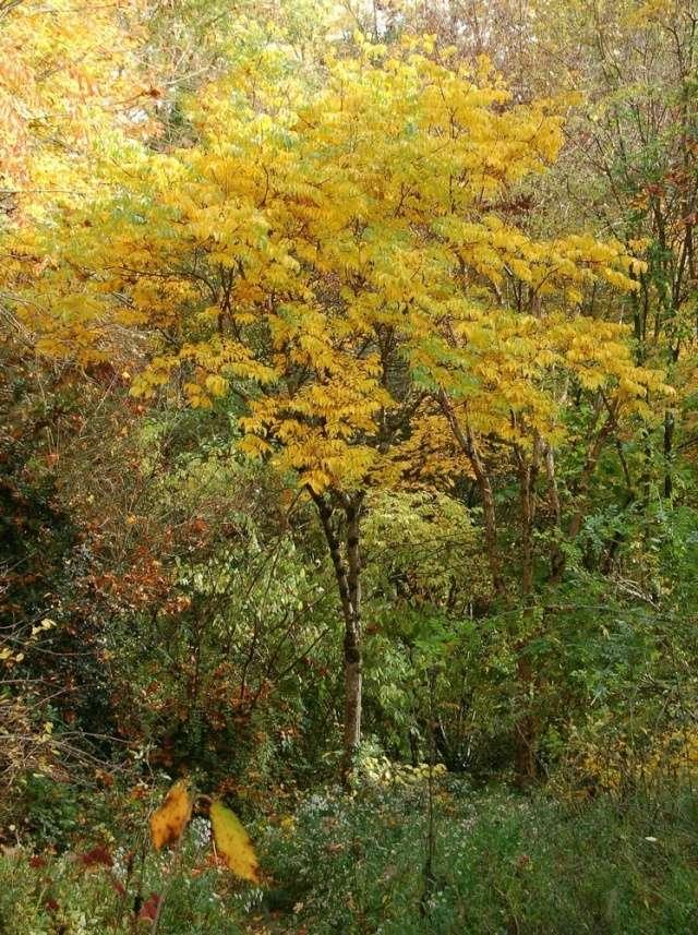 Koelreuteria bipinnata (= K. integrifoliola) Koelre12