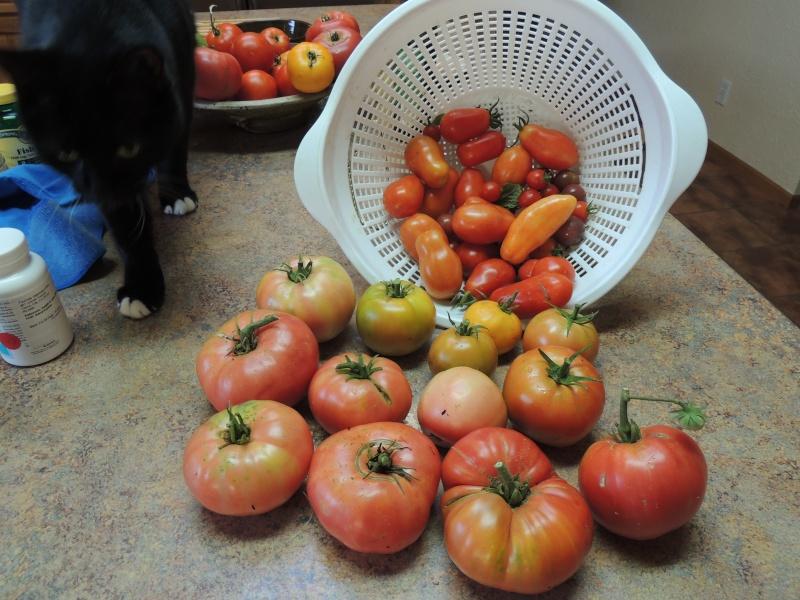 Too many tomatoes Dscn1111