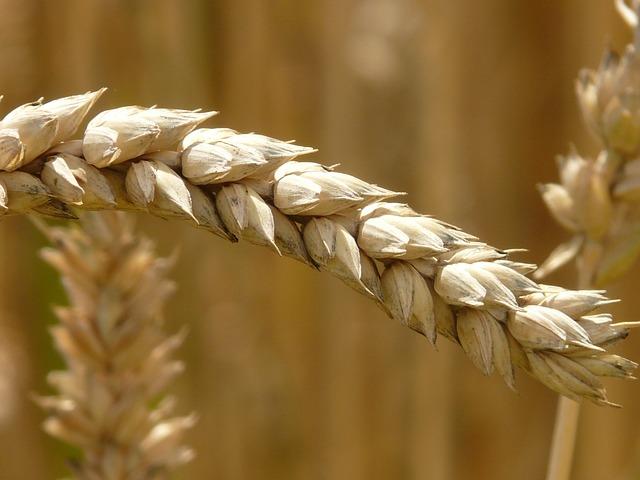 Le blé F1010