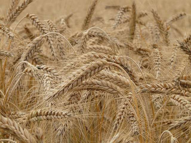 Le blé F1210