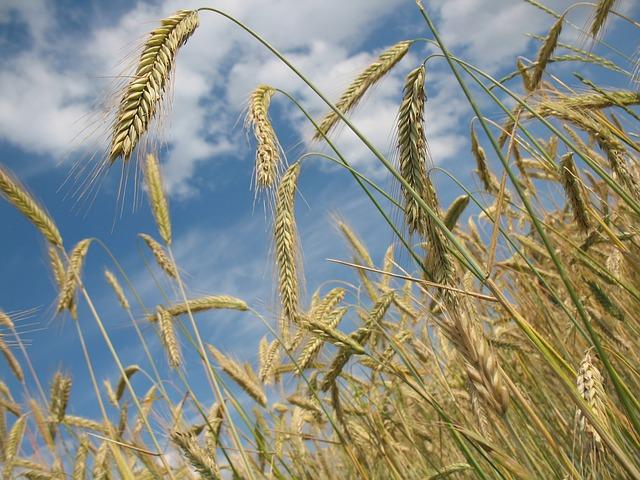 Le blé F1310