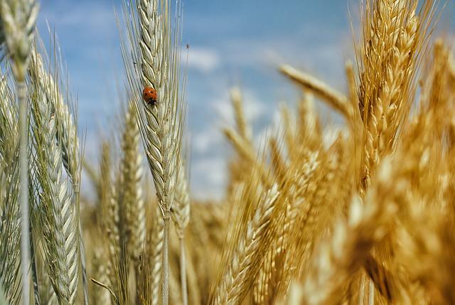 Le blé F1510