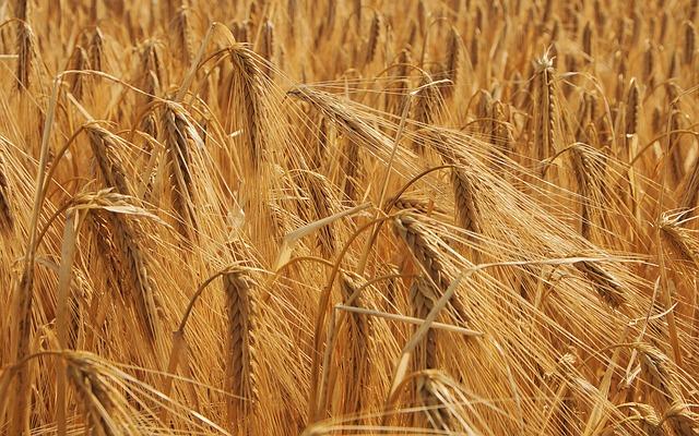 Le blé F1610