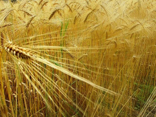 Le blé F1710
