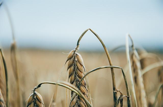 Le blé F1810