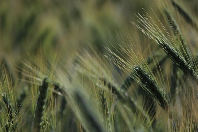 Le blé F2310