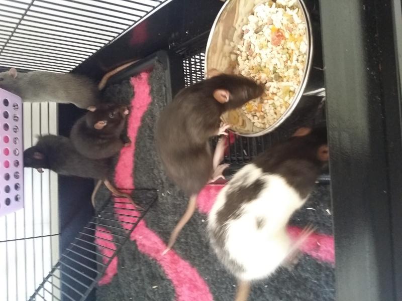 mes ratounes <3  Ladybird EDIT 31 juillet: 3 puces de + à la maison! 20150912