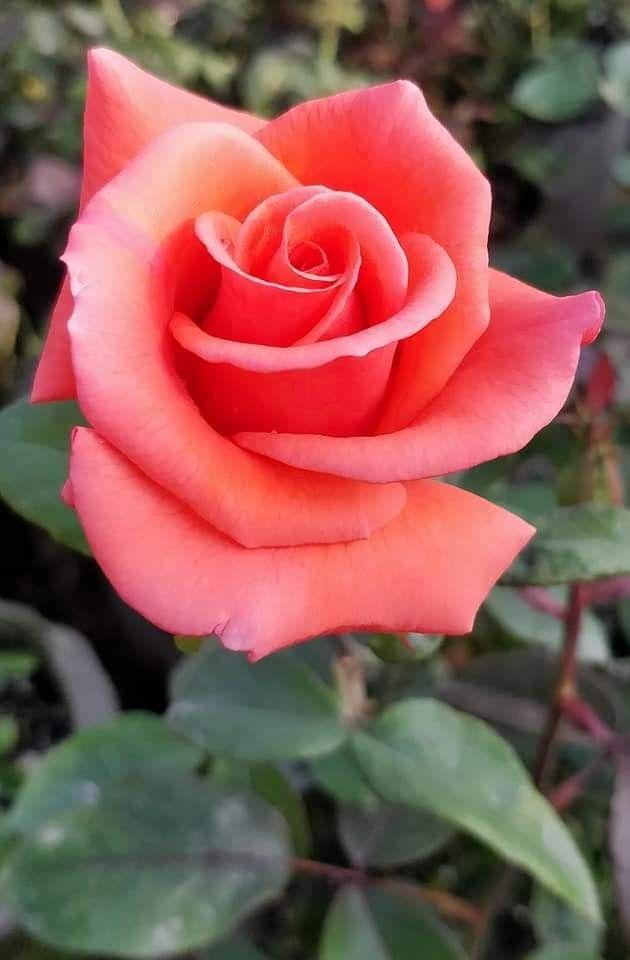 """Cien rosas para ti"" (Soneto alejandrino) Rosas10"