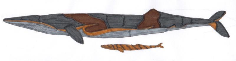 Brauner Finnwal Alex0816