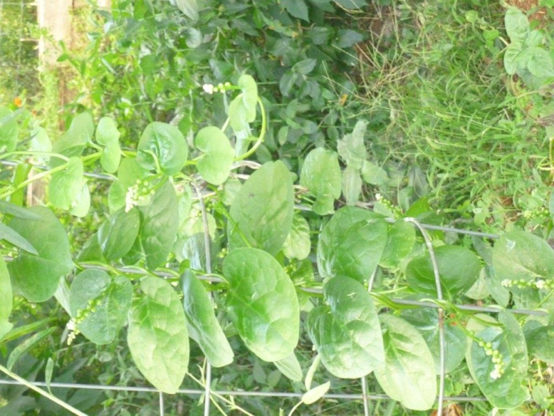 What are Hawaii folks planting and harvesting? - Page 3 9-9-1512