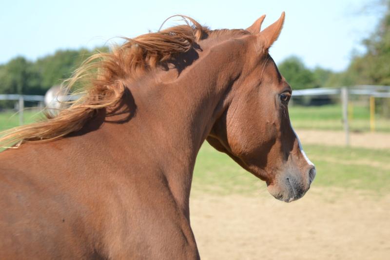 Heldon, PSAR ataxique, un cheval que l'on vouvoie Dsc_0515