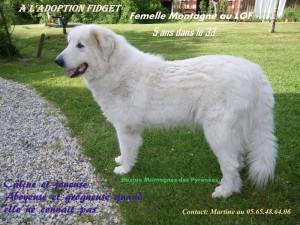Fidget, femelle montagne des Pyrénées de 5 ans, dept 33 Fidget11