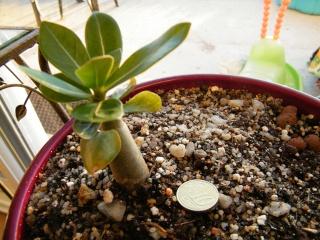 semis d'Apocynaceae : Plumeria, Adenium, Pachypodium... - Page 3 Dscf6916