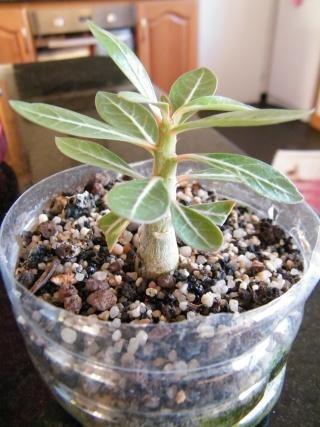 semis d'Apocynaceae : Plumeria, Adenium, Pachypodium... - Page 3 Dscf6917