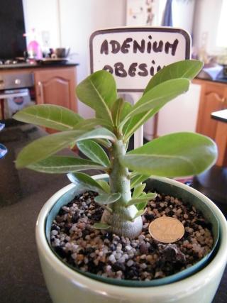 semis d'Apocynaceae : Plumeria, Adenium, Pachypodium... - Page 3 Dscf6918