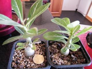 semis d'Apocynaceae : Plumeria, Adenium, Pachypodium... - Page 3 Dscf6919