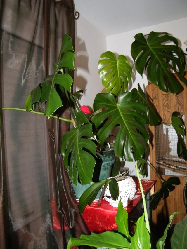 Philodendron-une plante facile à entretenir (variétés, floraison, fruit) - Page 2 Dscf6949
