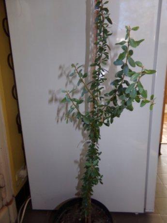 Argania spinosa- L'Arganier  Argani10