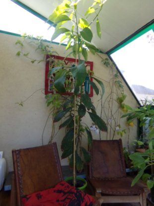mon Avocatier-Persea americana - Page 4 Avocat12