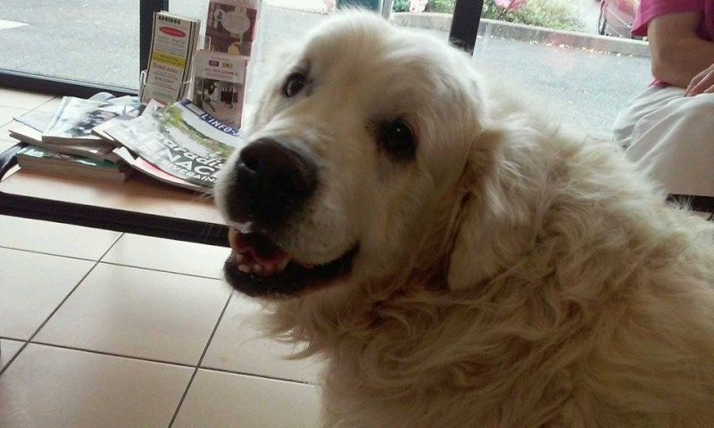 VIKING, golden retriever de 11 ans réapprend la vie en maison ... Int210