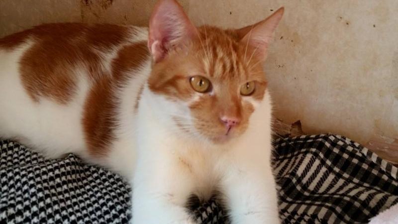 GARFIELD, chat mâle, né env. 06/2013, refuge de Alina et Anda - pris en charge par une autre association  Garf110