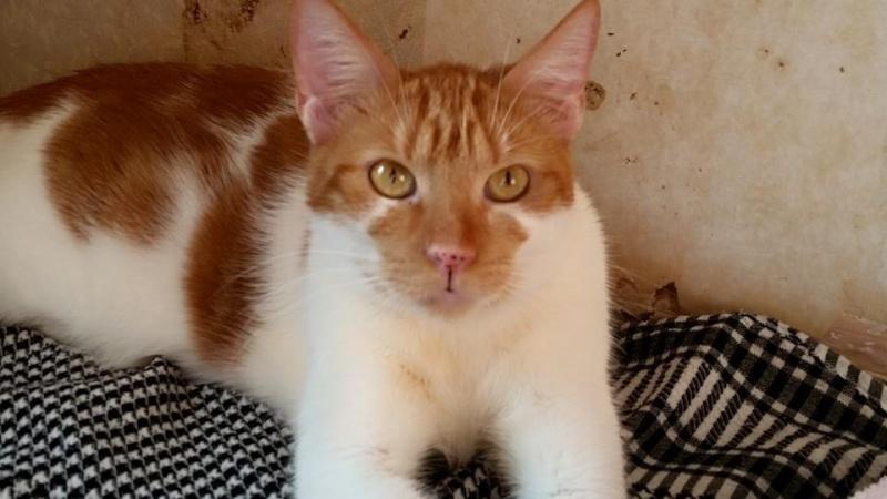 GARFIELD, chat mâle, né env. 06/2013, refuge de Alina et Anda - pris en charge par une autre association  Garf310
