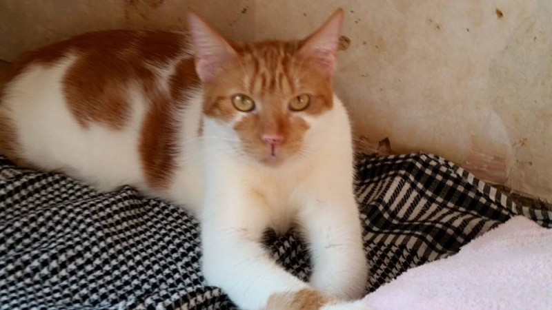 GARFIELD, chat mâle, né env. 06/2013, refuge de Alina et Anda - pris en charge par une autre association  Garf410