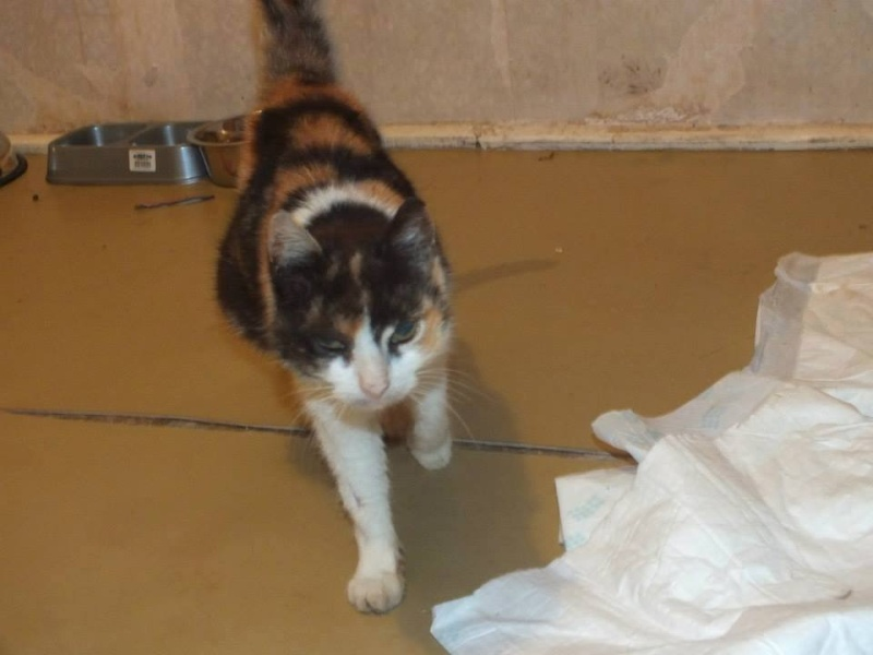 KITTY, chat femelle, née env. 2007, refuge de Alina et Anda - prise en charge par une autre association Kitty610