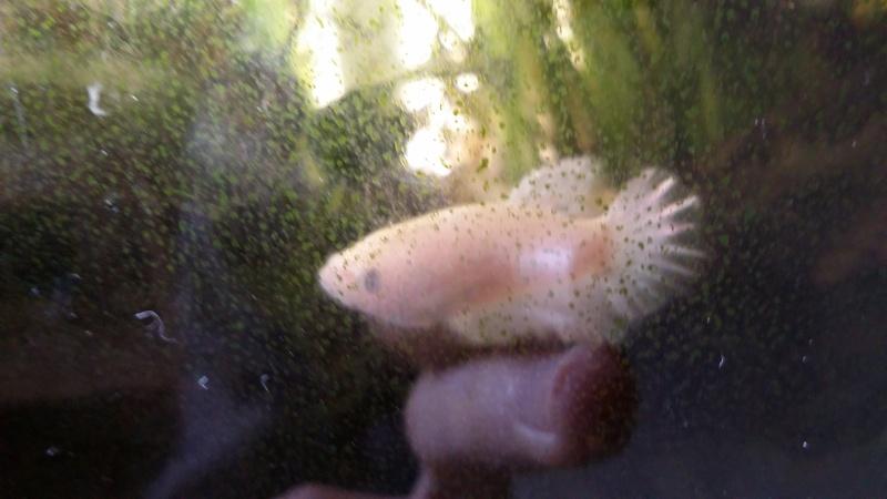 Nouvelle femelle HM: white..! 20151038