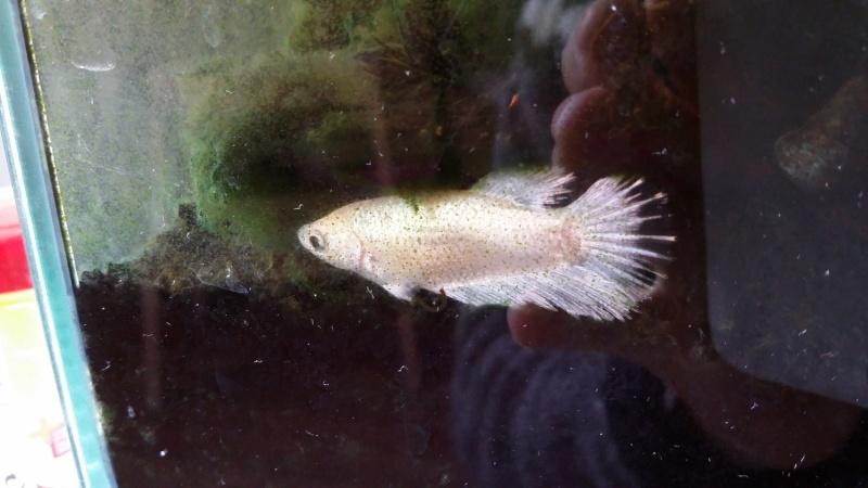 Nouvelle femelle HM: white..! 20151039
