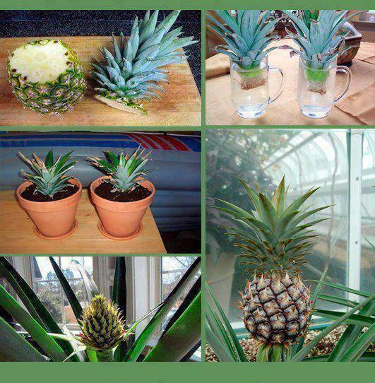 L'ananas. Famille des Broméliacées. Faire pousser et entretenir. 11219310