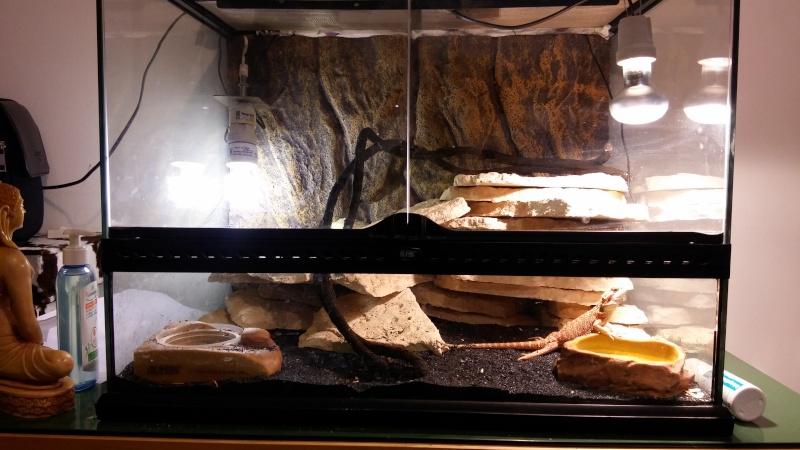 Pogona agressif dans son terrarium sans intervention 20150913