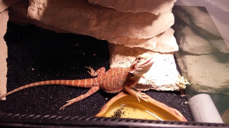 Pogona agressif dans son terrarium sans intervention 20150914