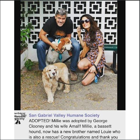 George Clooney and Amal adopted another dog today October 29 2015 Hh10