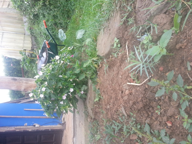 datura commun, chasse taupe, herbe du diable,  20150918