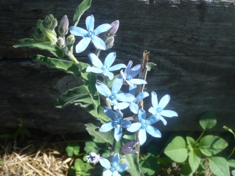 étoile, croix, du sud , du Cap??? : Tweedia caerulea  P1060515