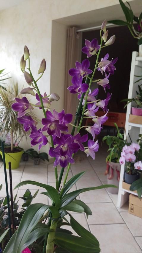 Dendrobium type Phalaenopsis Blue Happiness Dendro10