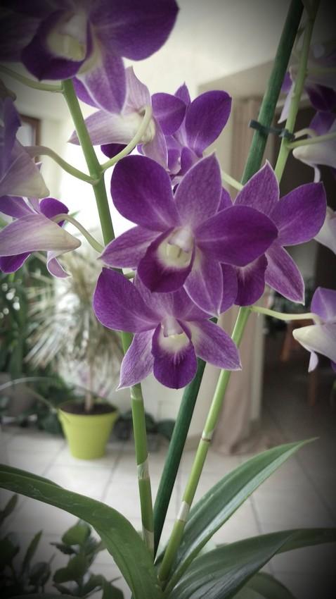 Dendrobium type Phalaenopsis Blue Happiness Dendro11