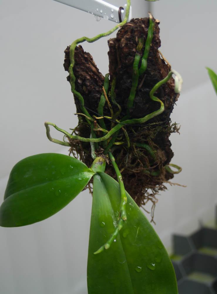 zwei neue Phalaenopsis Img_8610