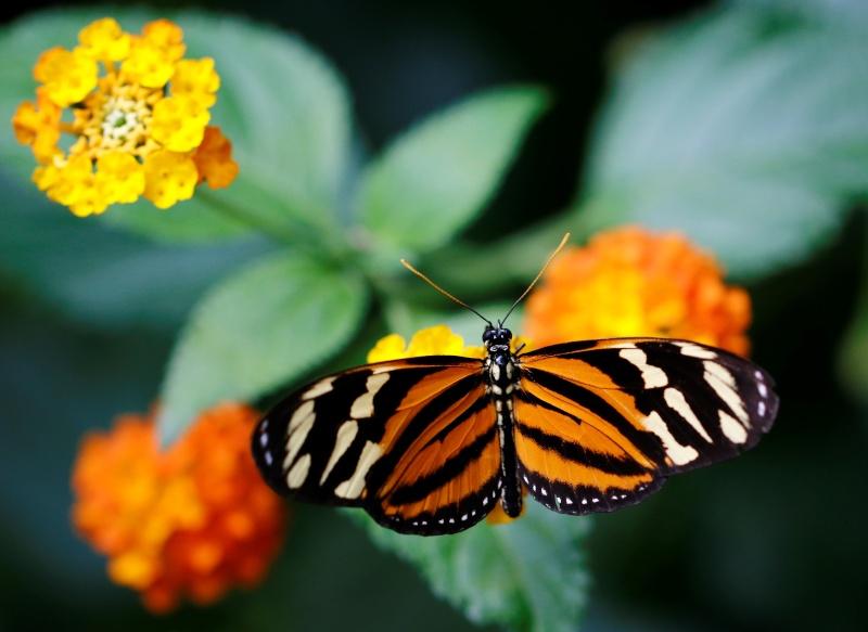 Fleurs et papillons _mg_9010