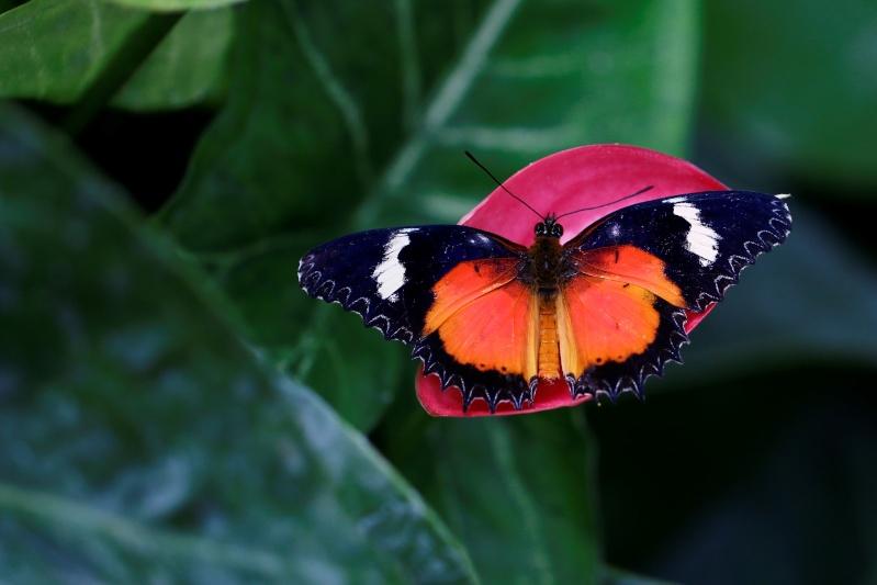 Fleurs et papillons _mg_9011