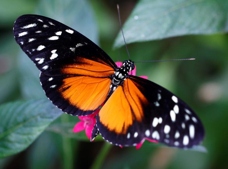 Fleurs et papillons _mg_9110