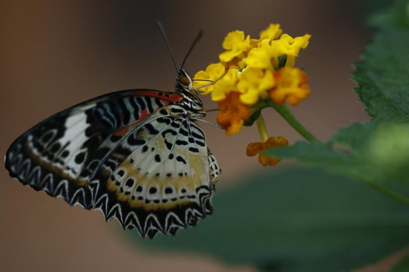 Fleurs et papillons _mg_9112