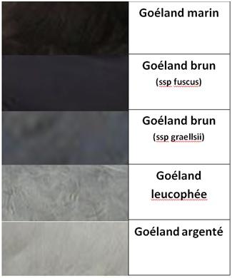 Différenciation des plumes de goélands (adultes) Goylan10